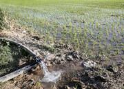 آبیاری زمین برنج با فاضلاب شهری در شهرستان دورود