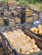 ۵۰ هزار تن میوه پوسید