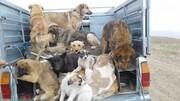 ساماندهی سگهای خیابانی در ارومیه