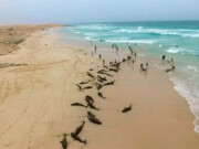 مرگ گروهی ۱۳۰ دلفین در غرب آفریقا