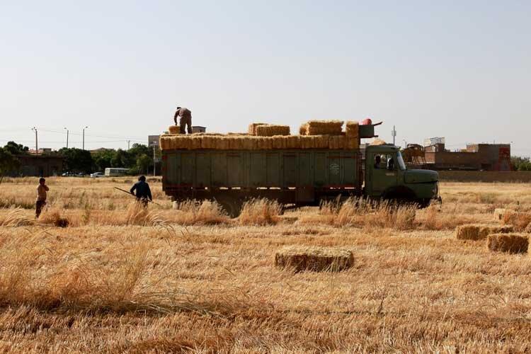 بیرغبتی کشاورزان اصفهانی  به فروش تضمینی گندم