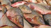 حضور کشتیهای چینی عامل گرانی ماهی است