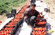 گوجهفرنگی دردسرساز