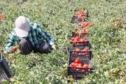 اعلام علت گرانی گوجهفرنگی