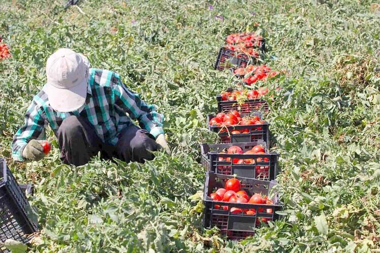 فعالیت گوجهکاران زنجان در کشورهای دیگر