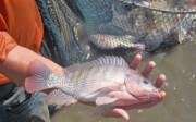 پرورش ماهی تیلاپیا در کرمان ممنوع شد