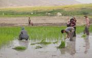 بوی برنج محلی در شالیزارهای چرداول پیچید