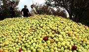 ۹۰۰ تن ضایعات روی دست کشاورزان لرستانی