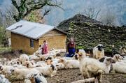 آسیب دامهای غیر مجاز به صنعت دام در مازندران