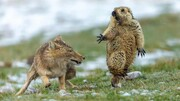 عکس روز: سنجاب و روباه