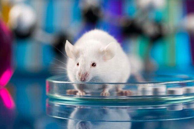 موش آزمايشگاهي