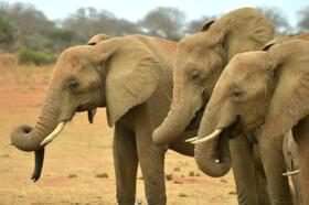 خشکسالی عامل تلف شدن ۵۵ راس فیل در زیمبابوه