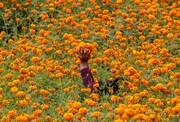 عکس روز: گلهای تکمهای برای جشن دیوالی