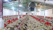افزایش توان رقابتی مرغ اردبیل در بازارهای جهانی