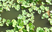 مشاهده مهاجمی جدید به نام کاهوی آبی در منابع آبی گیلان