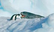 بهترین مستند حیات وحش تاریخ | رویارویی پنگوئن با فک پلنگی
