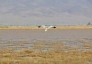 آغاز حضور پرندگان مهاجر در تالابهای همدان