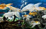 ساخت شهرک پرورش ماهیان زینتی در محلات