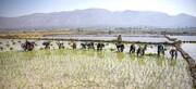 تولید ۸۰ هزار تن راتون برنج در گیلان