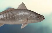 زنان باردار ماهی شوریده مصرف نکنند | جیوه بالا برای جنین خطرناک است