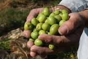 دغدغههای زیتونکاران در قطب تولید زیتون کشور