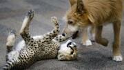 فیلم | بچه چیتا و سگ امداد