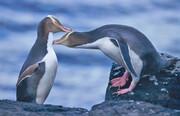 عکس | پرنده سال نیوزیلند یک پنگوئن چشمزرد است
