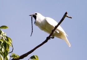 فیلم | آواز کرکننده مرغ زنگولهای سفید رکورد بلندی صدای پرندگان را میشکند