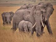 ۱۱۵ راس فیل به دلیل خشکسالی در زیمبابوه تلف شدند