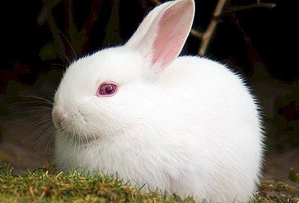 خرگوش چشم قرمز