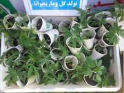 شناسایی ۲ گلخانه مخدر گل در غرب تهران | شبکه ۱۱ نفره تولید گل متلاشی شد