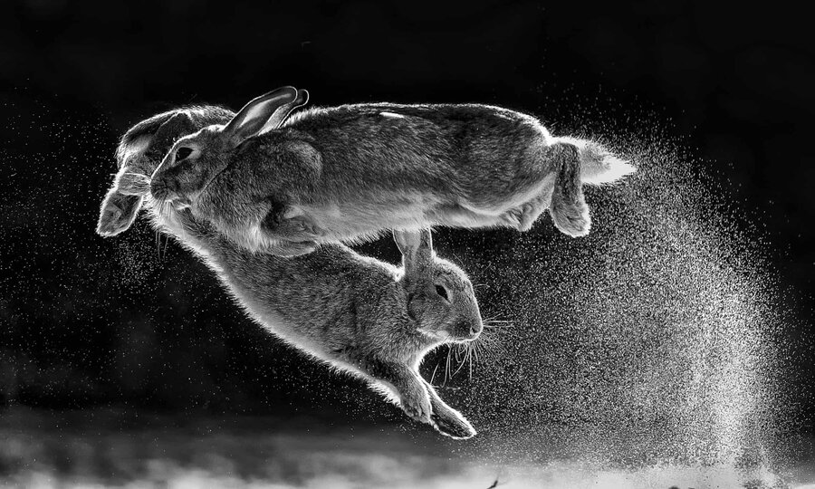 playful rabbits