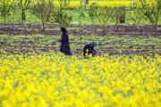 کشت پاییزه کلزا در ۲۱۷ هکتار از مزارع خراسانجنوبی