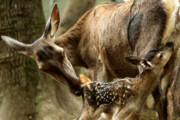 نجات مرالهای آمل از خطر انقراض