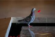عکس روز: دزدی شقایق برای ساختن آشیانه