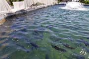 برداشت سالانه بیش از ۱۰۰ تن ماهی در خاش