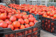 سرما زدگی علت گرانی گوجه فرنگی است