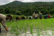 خودکفایی در تولید برنج | افزایش تولید ۲۰ درصدی