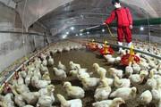 آنفلوآنزای فوقحاد پرندگان در کمین مراکز عرضه مرغ زنده
