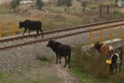 خسارت سنگین راهآهن به دامداران بلوکات رودبار