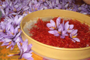 پنج تُن زعفران در تایباد خریداری شد