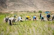کشت برنج در ۱۸ استان کشور