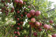 ۱۱۲ هزار تن سیب برداشت شد