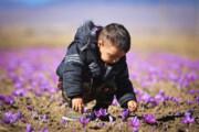 تصویر | روزهای خوش برداشت زعفران در تربت حیدریه