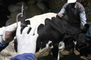 جمعیت دامی ایلام، رایگان واکسیناسیون میشوند
