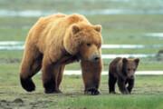مشاهده ۲ قلاده خرس قهوهای در ارتفاعات ملکشاهی