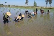 برنجکاران بیمزد