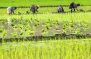 جوانتر شدن میانگین سنی کشاورزان در گرو اقتصادیتر شدن تولید برنج