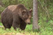 شکارچی خرس قهوهای گیلان دستگیر شد