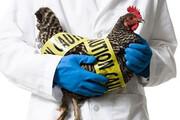 شیوع آنفلوانزا ربطی به صنعت طیور ندارد